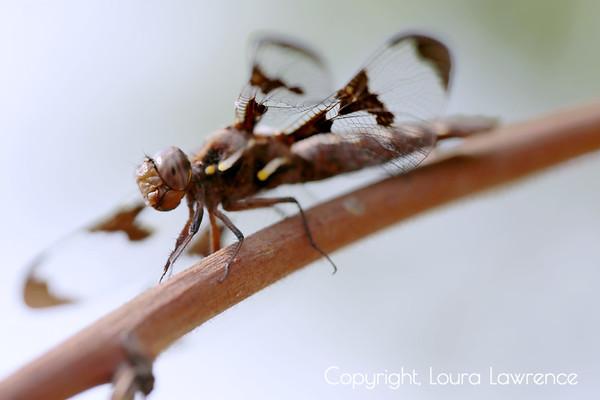 IMG_black dragonfly