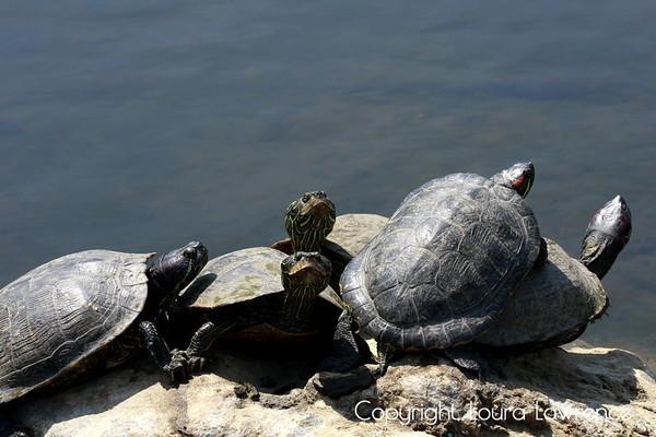 Grumpy Turtles