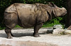 Rare Sumatran Rhino
