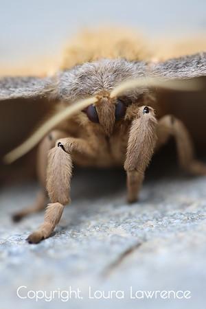 Polyphemous Moth Head and Legs Closeup