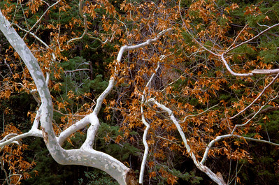 Mount Lemmon Sycamore