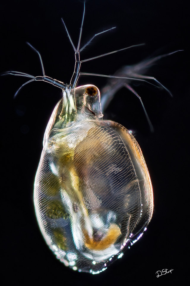A water flea through the microscope.  The image took me weeks of work to finish as it is a composite of hundreds of shots at different focus distance. Because the crustacean is transparent, automatic focus stacking was out of question - different elements could get in focus on the same area. I had to assemble photos in multiple layers and then selectively adjust which layers would be visible to deliver a realistic and fair representation of the whole animal.<br /> <br /> Metallic paper or metal printing are meant for this image and will render the shell of this magnificent creature very realistically.