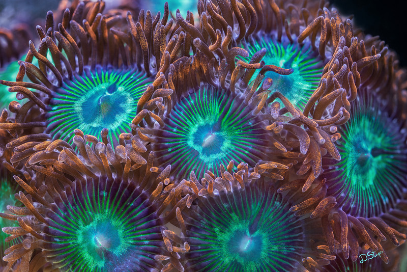 "Zoanthids are about the most beautiful soft corals out there. They are found in great diversity of colours and very tough to identify. The imaged area was around 2 cm in width. <a href=""http://www.microworldsphotography.com/photos/i-NTgfcCW/0/O/i-NTgfcCW.jpg""> Close-up</a> of this image illustrating the amount of details captured.<br><br>30x45 inch and above recommended for the size."