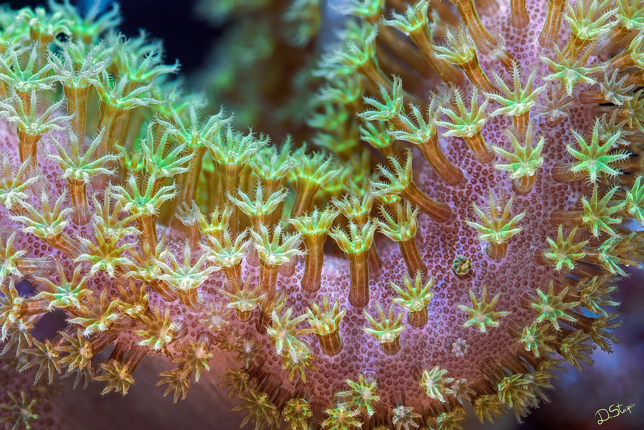 "A leather coral (<i>Sarcophyton</i> sp.) showing its brightly fluorescent polyps. This is an octocoral, unlike the vast majority of other corals in my galleries. Each polyp has 8 tentacles - an anatomical feature that separates this group. A <a href=""http://www.microworldsphotography.com/photos/i-XzSrB6S/0/O/i-XzSrB6S.png""> closer look</a> can reveal individual zooxanthellae algae inside the polyps.<br><br>Larger print sizes (24x36 inch or more) tremendously increase the impact of the image."