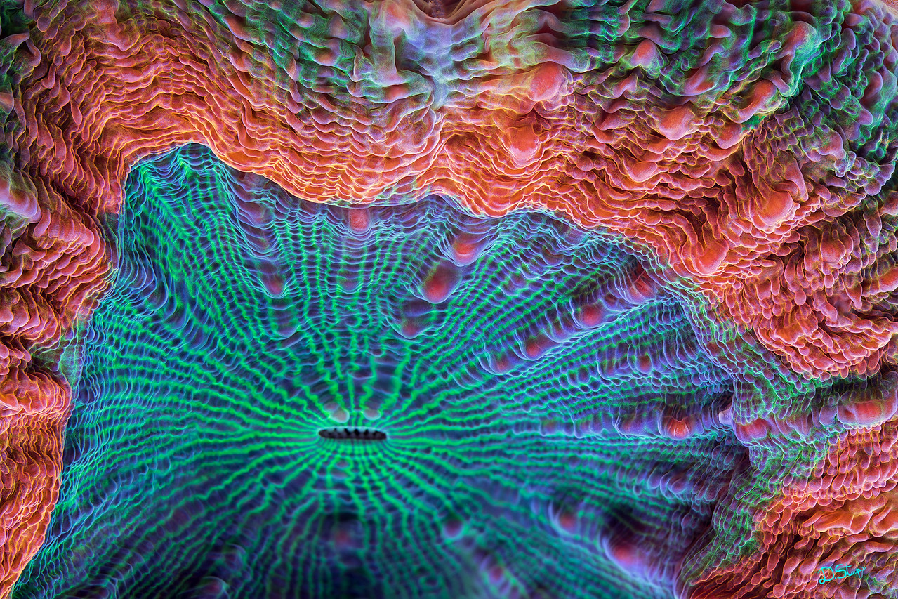 A lobophyllia coral (possibly <i>Lobophyllia hemprichii</i>) of a very peculiar morphology. Bright, colorful, and slowly moving creature that I could not ignore.<br><br>Perfect image for a large colorful abstract piece of artwork