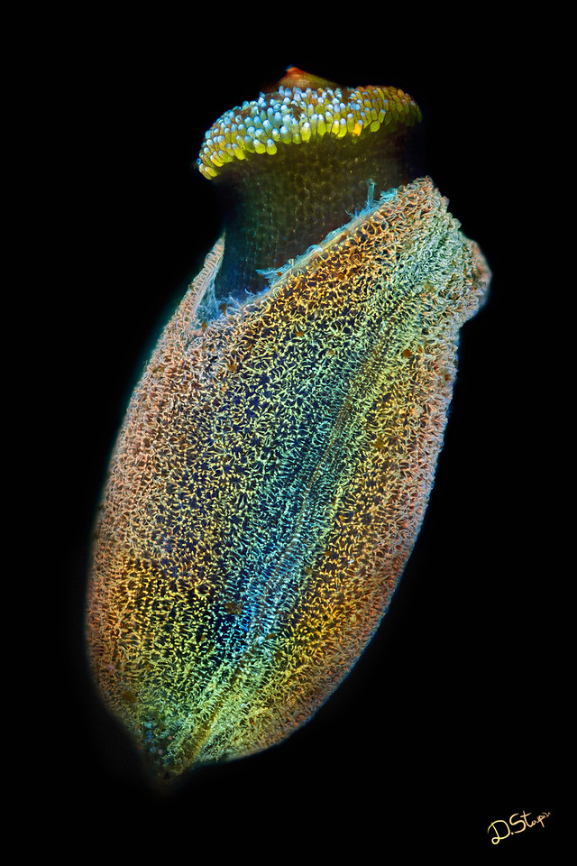 A fluorescent plant seed. I stained this seedling with a number of fluorescent dyes and exposed to UV light in order to capture those magnificent colors. <br /> <br /> The image got honorable mention in Olympus Bioscapes 2011 photo contest.<br /> <br /> The recommended size for this image is 16x24 inch.
