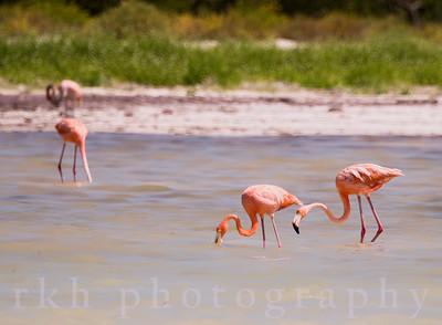 American Flamingos off Holbox Island