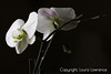White Orchids, <br /> Kettering, OH