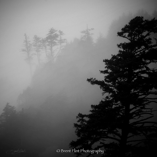 DF.677 - tree silhouettes and fog, Ecola State Park, OR.