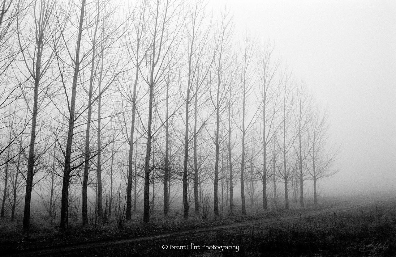DF.420 - poplar plantation, Kootenai County, ID.
