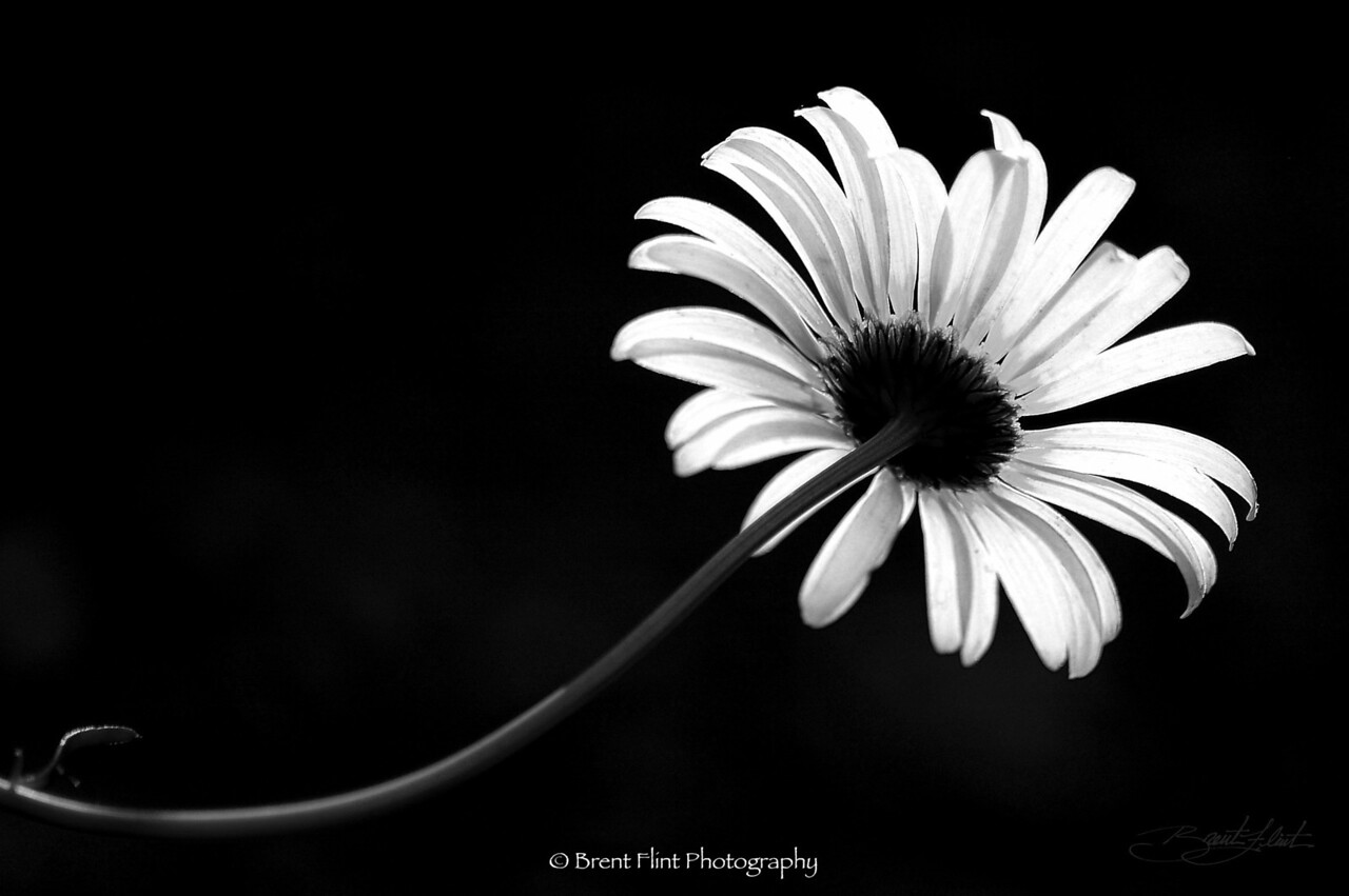 DF.200 - backlit oxeye daisy, Kaniksu National Forest, ID.