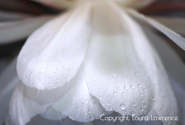 Night Blooming Cereus, Desert Plant, Unusual Flower