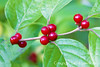 Bush Honeysuckle Berries in Fall; Dayton, OH