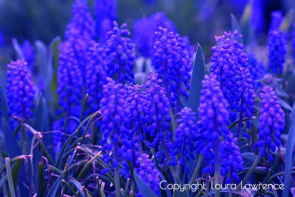 """Feeling Blue"" Grape Hyacinth Digital Fine Art Photography"