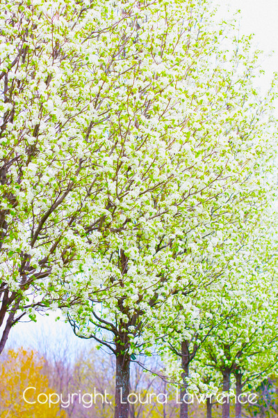 White Row of Pear Trees in Spring Bloom, Oil Painting/Digital Fine Art Photography by Loura Lawrence