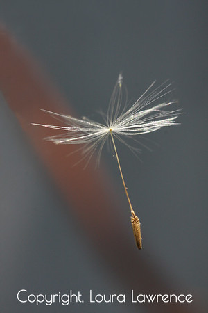 Floating Dandelion Seed
