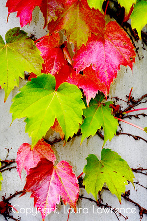 Boston Ivy in the Fall