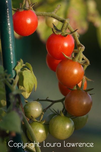 The Transformation of the Tomato