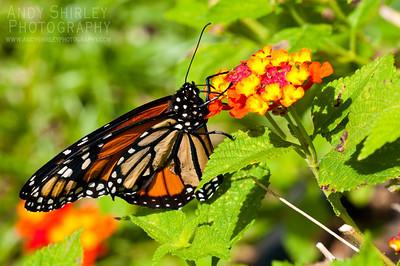 Monarch at foster botanical garden