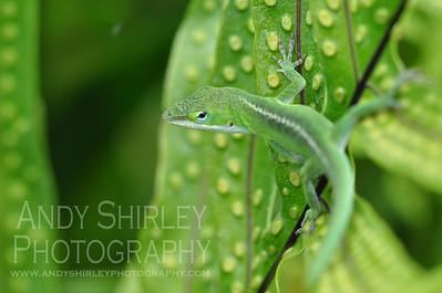 Chameleon, Manele Bay, Lanai