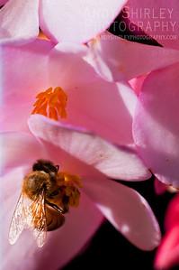 Bee on begonia, taken at Lyon Arboretum.