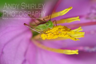 Grasshopper on purple flower at Lyon Arboretum