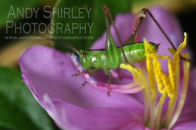 Grasshopper on purple flower at Lyon Arboretum