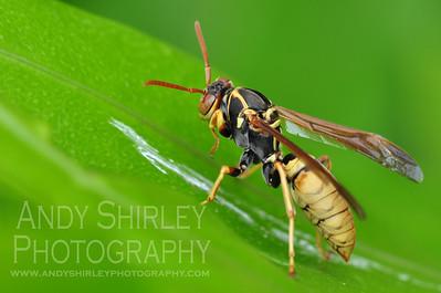 Wasp, at Manele Bay, Lanai