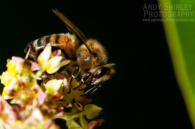 Honey bee pollinating our mango blossoms