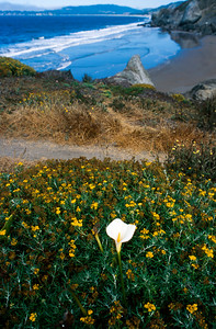 A lily blooms among wildflowers at Stinson Beach, California
