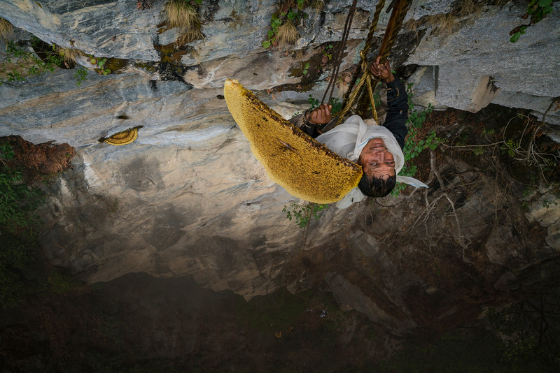 "Mauli Dhan, the last honey hunter, at the first of three harvest locations.  After cllimbing up the ladder from below his must first tie himself off to a small vine tree to get him closer to the hive on this severly overhanding cliff. The frist step is to chat a mantra for the bees to leave peacefully and brush off the bees with a bamboo pole in gaint clumps.   He pokes cotter pin-like pegs through the six-foot-wide, half-moon shaped hives, then attaches the pegs to a bamboo rope managed by an assistant above. The final step is to sever the hive from the wall. Maule cries out 'Yuwa ke!' ""(it has fallen!)"" This call, echoed by the other honey hunters, rings out across the jungle, while the hive is carefully lowered to the ground.  Then he must  scrape the best honey off from the roof of the overhang.  His basket has ropes going to the top for his team to take the weight as he controls it and communicates.   Each time he communicates with his team above he must lean back to yell up.  Its an intese core wrenching position and the small rope he has hooked around his armpits for protection cuts his skin to near the bleeding point."