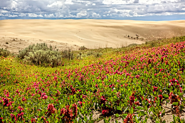 Pink Flowers at the Great Sandhills  (DE1402)