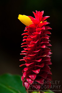 Ginger at tropical garden, Wailuku, Maui.
