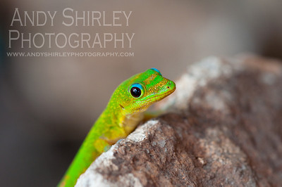 Gold Dust Day Gecko, North Shore, Oahu