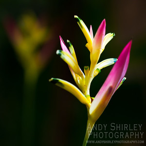 Heliconia at tropical garden, Wailuku, Maui.