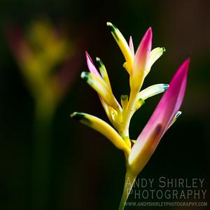 Heliconia at tropical garden, Wailuku, Maui.