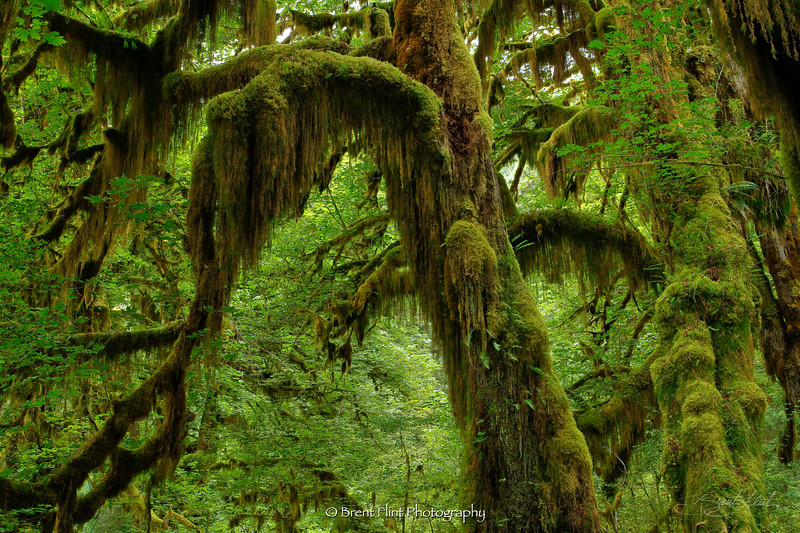 DF.2194 - lichen and moss on trees, Hoh Rain Forest, Olympic National Park, WA.