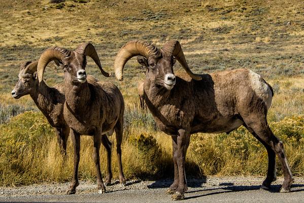Bighorn Sheep, Wyoming