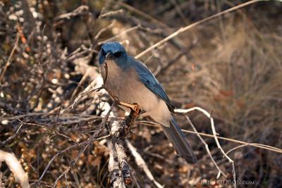 Western Bluebird in Big Bend National Park