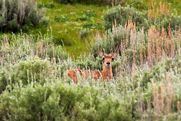 Baby pronghorn. Yellowstone National Park.