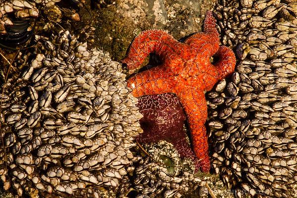 Starfish, Vancouver Island