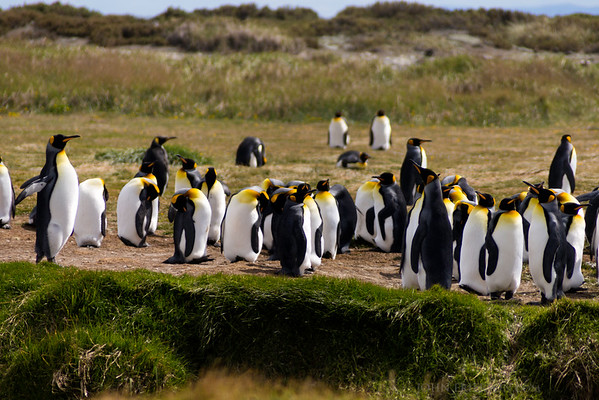 King Penguins, Parque Pinguino Rey, Chile