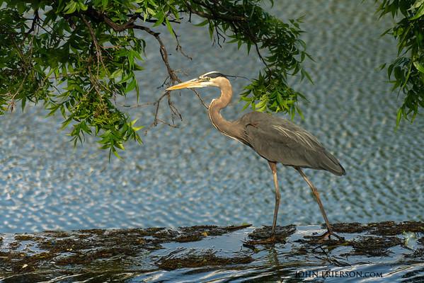 Heron on the San Angelo Riverwalk