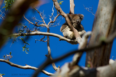 Koala, Cape Otway National Park, Australia