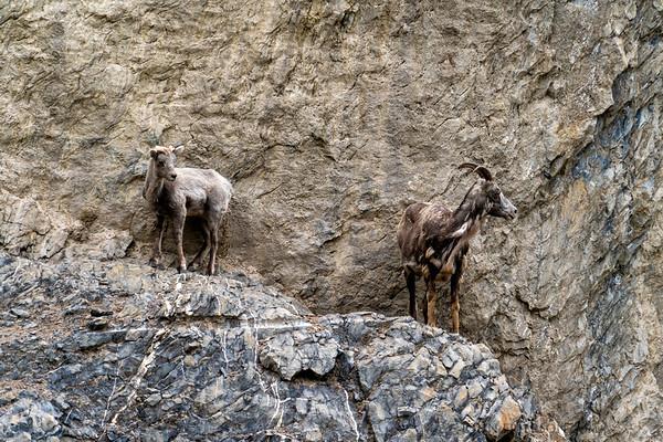 Jasper Mountain Goats