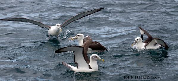 Albatros, New Zealand