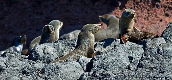 Fur seals, Otago Peninsula, New Zealand.