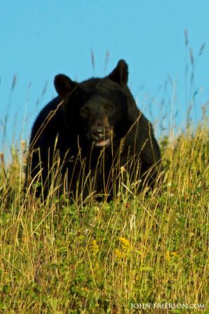 Black Bear at Waterton Lakes National Park