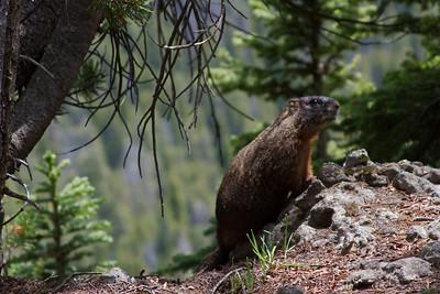 Marmot, Yellowstone National Park.