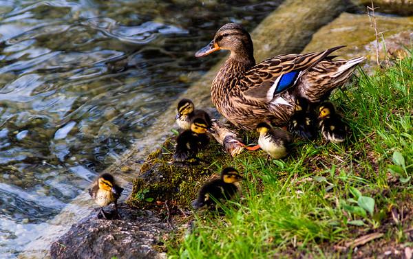 Ducks, Lake Bled, Slovenia